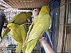 Ожереловый попугай.