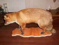 Чучело лисы в полный рост