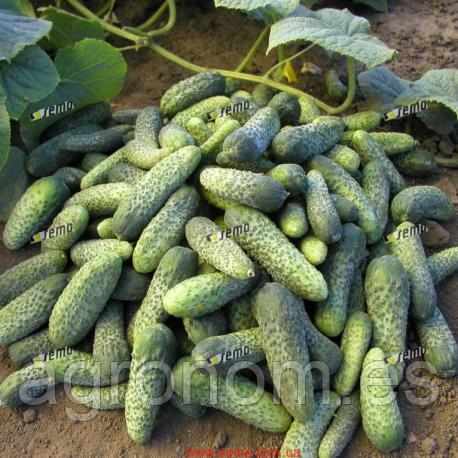 Семена огурца Шанталь F1 1 кг Semo