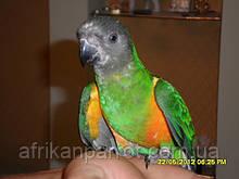 Сенегальский попугаи