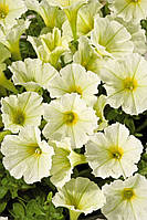 Petunia Grandiflora Alladin Yellow