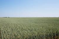 """Семена озимой пшеницы """"Дарунок Подiлля"""" (Супер элита)"""