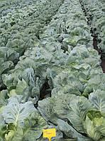 Капуста Галакси F1 семена среднеспелого высокоурожайного гибрида капусты стойкого к высокой температуре