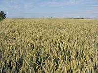 """Семена озимой пшеницы """"Каланча"""" (Супер элита)"""