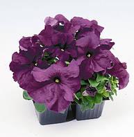 Petunia Limbo Purple