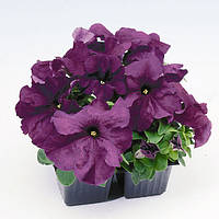 Petunia Limbo Deep Purple