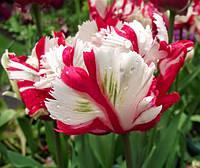 Тюльпан попугаевидный Estella Rijnveld, тюльпан купить