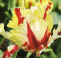 Тюльпан попугаевидный Flaming Parrot, тюльпан купить