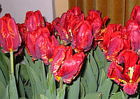 Тюльпан попугаевидный Rococo, тюльпан купить