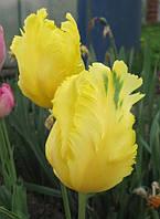 Тюльпан попугаевидный Texas Gold, тюльпан купить