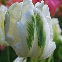 Тюльпан попугаевидный White Parrot, тюльпан купить