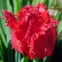 Тюльпан бахромчатый Barbados, тюльпан купить