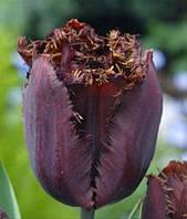 Тюльпан бахромчатый Black Jawel, тюльпан купить