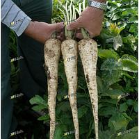 Семена пастернака Белас 1 кг Semo