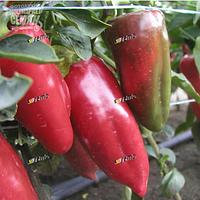Семена перца Рафаэла F1 1000 семян Semo