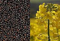 Оптимальне рішення для захисту посівів ріпаку від бур'янів - Виробнича система Clearfield®.