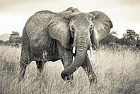 """Флизелиновые фотообои """"Слон"""" 368х248 см"""