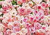 """Фотообои """"Роза""""  368х254 см"""