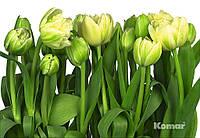 """Фотообои  """"Тюльпаны"""" 368х254 см  , фото 1"""