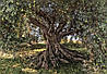 "Фотообои ""Оливковое дерево""  368х254 см"