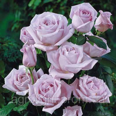 Роза плетистая Блу Мун (Blue Moon), купить саженцы роз - Агролайт в Одессе