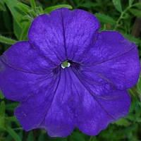Petunia Eagle Blue