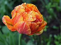 Тюльпан махровый Allegretto, тюльпан купить