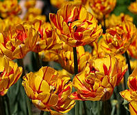 Тюльпан махровый Golden Nizza, тюльпан купить