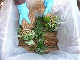 Клубника Королева Елизавета 2, нейтрального дня, голый корень, фото 5