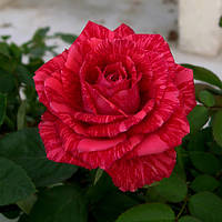 """Роза чайно-гибридная """"Ред Интуишн"""""""