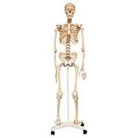 """Анатомическая модель на стойке """"Скелет человека"""" 160 см (SK160) Edu-Toys"""