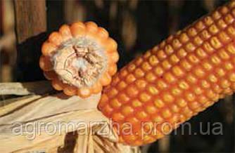 Кукуруза сорт ЕС Вулкан (Euralis semences)
