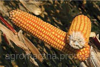 Кукуруза сорт ЕС Эрнесс (Euralis semences)