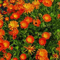 Цветки, лепестки, соцветия