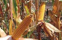 Кукуруза сорт ЕС Конгресс (Euralis semences)