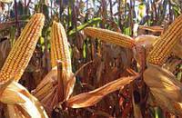 Кукуруза сорт ЕС Сенсор (Euralis semences)