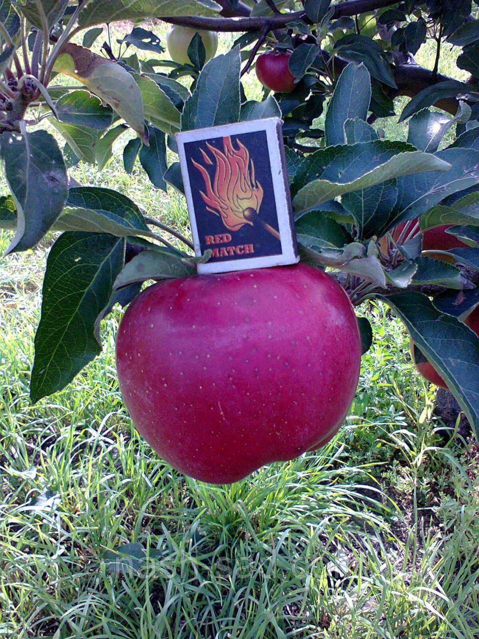 Саженцы яблони Адамс Эпл (США)