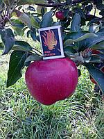 Саженцы яблони Адамс Эпл (США), фото 1