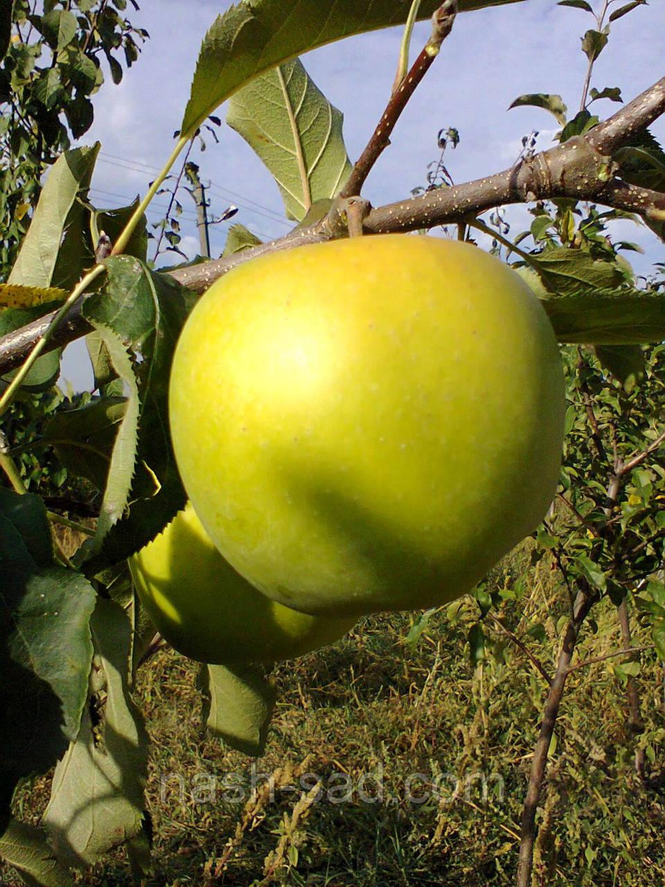Саженцы яблони Мутсу NK (Польша)