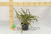 Лапчатка - Potentilla fruticosa Abbotswood (высота 30см)