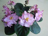 Сенполия ЛЕ-Мраморный Цветок