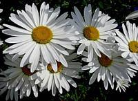 Нивяник (ромашка садовая) Аляска (средняя)