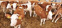 Продам КРС мясо-молочной Симментальской породы