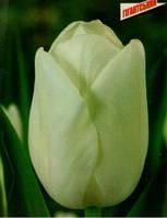 "Тюльпан Гигантский ""Clearwater"" белый"