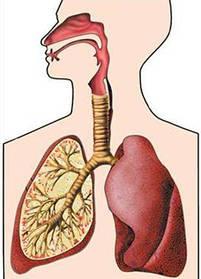 Дыхательная система, простуды, натуральные антибиотики