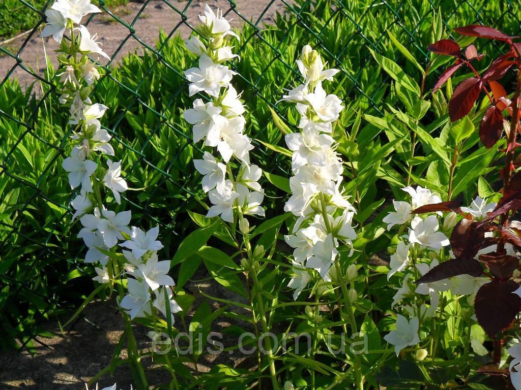 Колокольчик кампанелла цветок 27