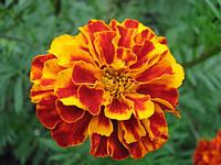 Чернобривцы (бархатцы) цветки