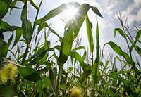 Cемена кукурузы Р9578