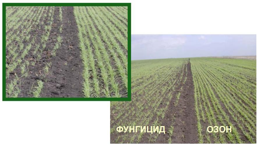 Экологически чистая - Предпосевная обработка семян и зерновых культур Озоном