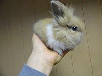 Ручной Кролик прямоухий, маленький декоративный кролик.
